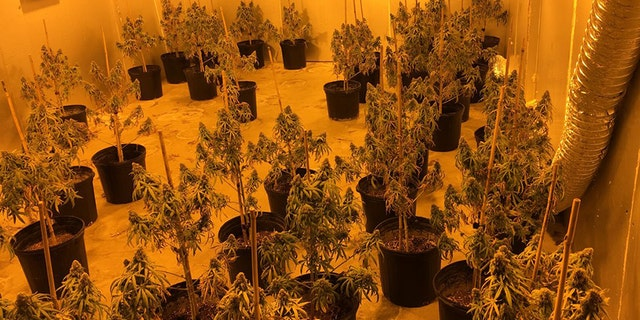 Authorities reported seizing more than $7 million in marijuana in Georgia.