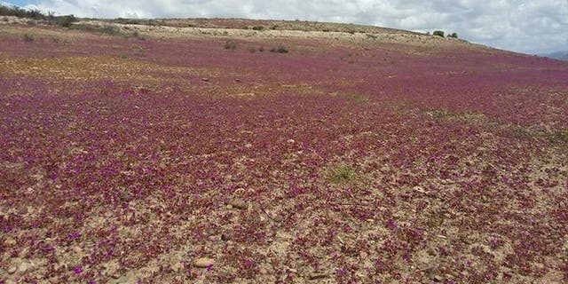 The flowers are the result of heavy floods that hit the desert in March, sparking mudslides and killing dozens of people. (Photo credit: Sebastéuo Fotografias)