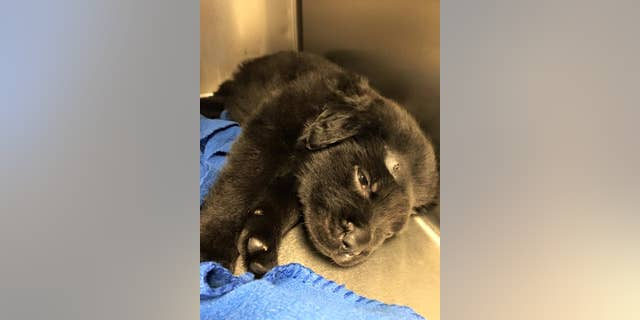 Brody, a 6-week-old puppy, is recovering.