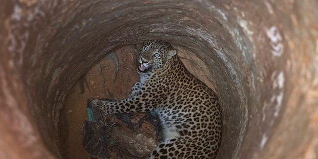 There are between 12,000 and 14,000 leopards in India.