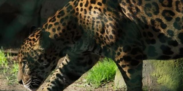 A jaguar escaped his enclosure Saturday morning by biting through a steel fence, officials said.
