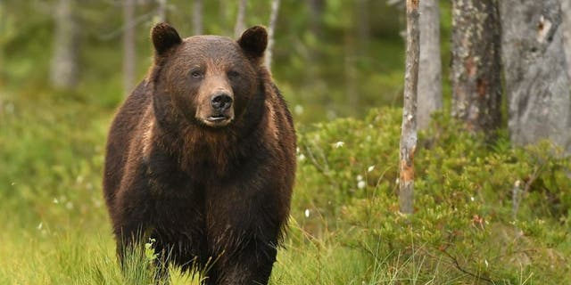 The fourth victim was injured in the Gravelly Mountains, in the same stretch of wilderness 鈥� just eight miles south 鈥� of where three hunters were hurt in two separate encounters on Sept. 16.