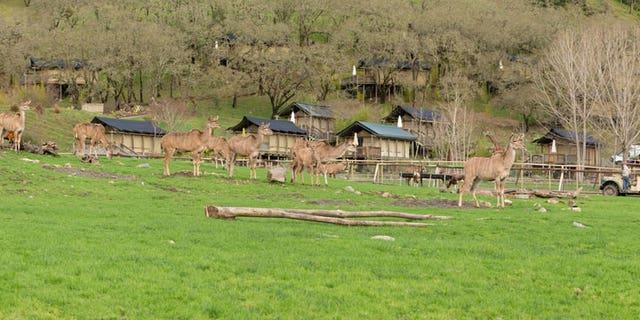 Safari West park.