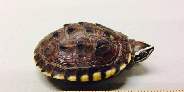 """In a photo provided by the U.S. Attorney's office, a smuggled turtle is seen next to a ruler. A Canadian man who repeatedly entered Michigan to buy and ship thousands of turtles to his native China was sentenced to nearly five years in federal prison Tuesday, April 12, 2016 for smuggling. It was a tough punishment for Kai Xu, who has been locked up for 19 months since his arrest and had hoped to be released. The 27-year-old expressed remorse to a judge and thanked agents """"for stopping the darkness of my greed and ignorance."""" (U.S. Attorney's Office via AP)"""