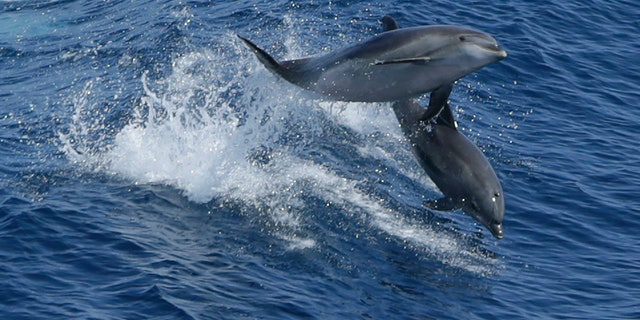 A pair of dolphins leap in the Atlantic Ocean between Bermuda and the United States main land.