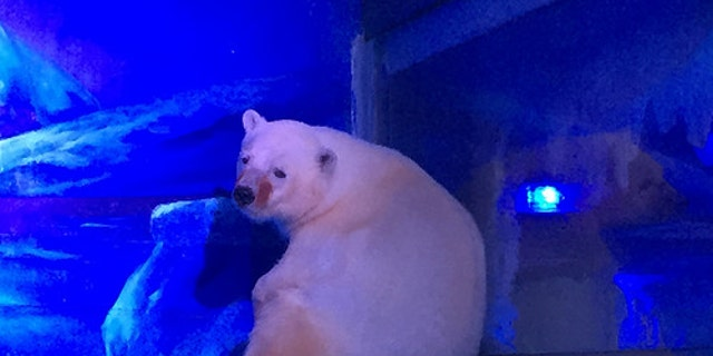 A polar bear at the Grandview Aquarium (Animals Asia)