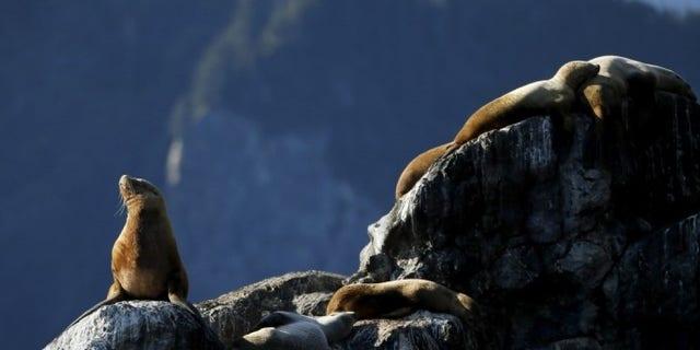 Sea lions bask on a rock as U.S. President Barack Obama (not pictured) takes a boat tour of Kenai Fjords National Park in Seward, Alaska September 1, 2015. REUTERS/Jonathan Ernst