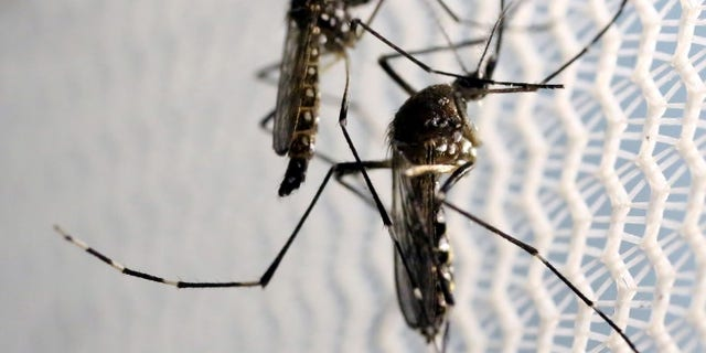 Florida Keys to Release Modified Mosquitoes to Fight Illness