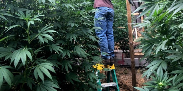 Cannabis grower Steve Dillon tends to his plants on his farm in Humboldt County, California