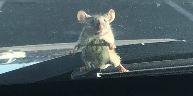 A mouse was spotted on a California sheriff's deputy's windshield on Sunday.