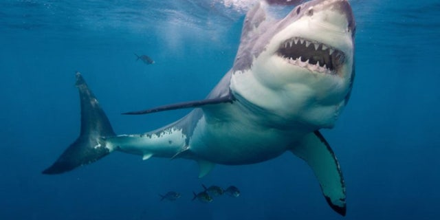 A British doctor narrowly escaped a great white shark attack while surfing off the Australian coast.