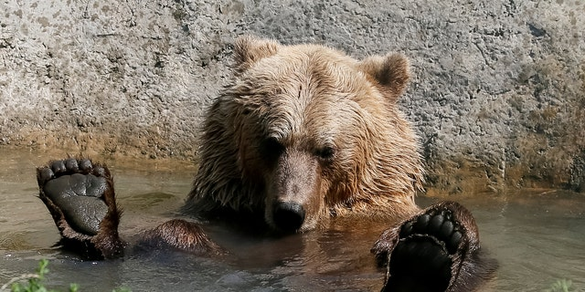 A brown bear is seen in a shelter for bears in the village of Berezivka near Zhytomyr, Ukraine August 15, 2017 - file photo.