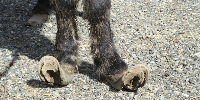 Rescuers said the miniature horses' hooves had not been taken care of in years.