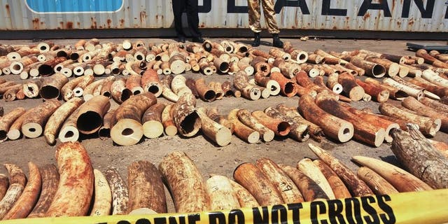 Kenyan officials display some of more than 1,600 pieces of illegal ivory found hidden inside bags of sesame seeds in freight traveling from Uganda, in Kenya's major port city of Mombasa, Kenya, on Oct. 8, 2013. Warlord Joseph Kony's Lord's Resistance Army rebel group is increasingly trafficking in ivory and minerals to obtain weapons and other supplies to be used in the jungles of central Africa, watchdog groups said in a report released in 2014. (AP Photo, File)