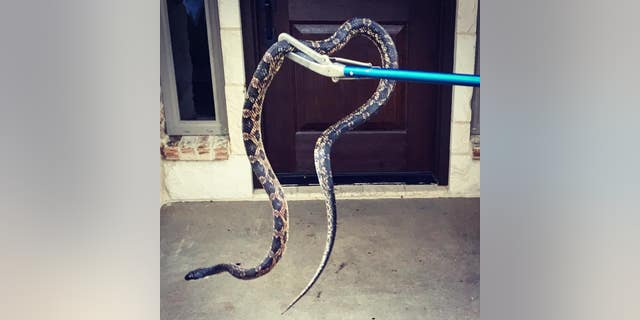 Morgan's Point Resort Fire Department officials removed the Texas rat snake from the home.