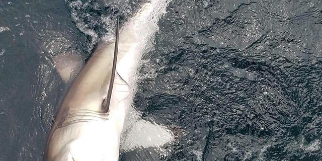 A great white shark is seen off the coast of New Jersey.