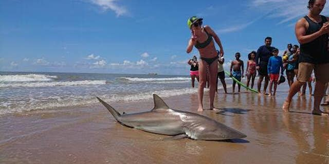 Lauren Biggers, of Conroe, Texas, hauled in a nearly 7-foot blacktip shark on July 7.