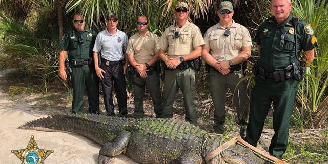 A 13-foot alligator was captured in Shamrock Park.