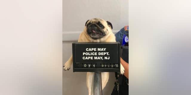 Bean the pug returned home after her mugshot went viral.