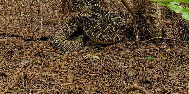 Joseph Hosey's close encounter with an eastern diamondback rattlesnake went viral on July 20.