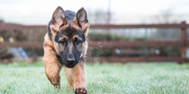 A 2 1/2-year-old German Shepherd puppy was caught by the Boston harbor three hours after bolting from his carrier.
