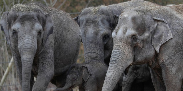 Newborn Asian elephant Tun Kai is pictured with members of its family on the first day of a public appearance at the Planckendael Zoo in Mechelen, Belgium March 9, 2018. (REUTERS/Yves Herman)