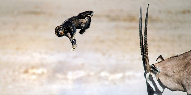 Pic Dirk Theron/Caters News - (Pictured: The oryx headbutts the honey badger launching it into the air.) - A honey badger has been flung through the air after attempting to attack an oryx. Dirk Theron, 45, from Cape Town, South Africa, was visiting Etosha National Park, when he spotted the fighting pair.The photos show the honey badger attacking an oryx and despite being flung six metres into the air he refuses to give up and keeps on coming back for more.SEE CATERS COPY