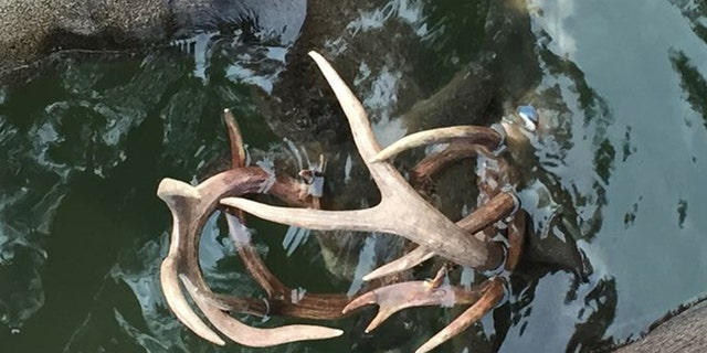 The buck evidently drowned after fighting near Table Rock Lake.