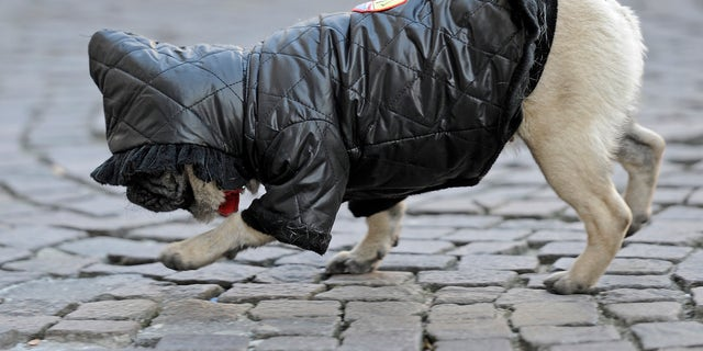 A warm covered pug dog strolls on a street on a cold winter day.