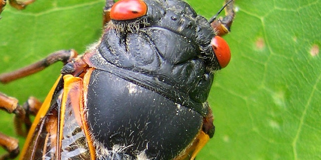 Chef Plans Cicada Feast During Invasion | Fox News