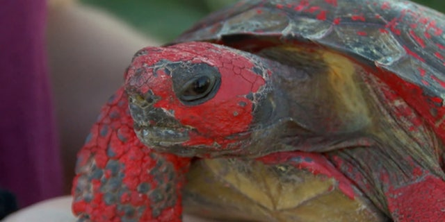 A tortoise named Raphael was found covered in concrete and red paint this week along a road in Florida.