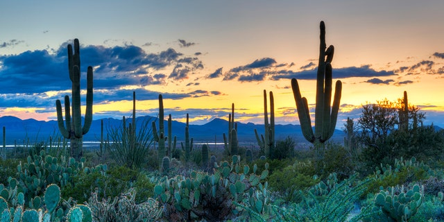 Officials are hopeful that microchipping the cacti will deter thieves in the future.