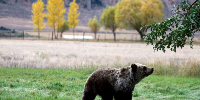 Bear hunts in Idaho and Wyoming were scheduled to begin on Sept. 1.