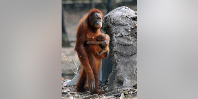 File photo: In this photo taken on Thursday, Sept. 27, 2012, Tori, a female orangutan carries her baby at Satwa Taru Jurug zoo in Solo, Central Java, Indonesia. (AP Photo)