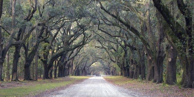 Oak Trees and Spanish Moss lining Street, Savannah, Georgia