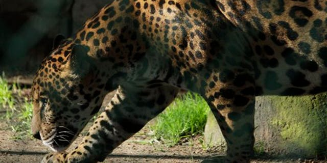 A jaguar walks in a public zoo in Zacango, Mexico, Aug. 17, 2011. (Associated Press)