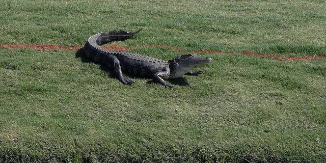 The gator wasn't willing to go without a fight.