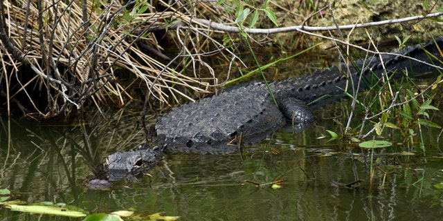 """April 22, 2015: An alligator hangs out in the water while President Barack Obama walks nearby on the Anhinga Trail at Everglades National Park, Fla. Obama visited the Everglades on Earth Day to talk about how global warming threatens the U.S. economy. He says rising sea levels are putting the """"economic engine for the South Florida tourism industry"""" at risk."""