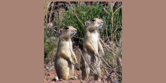 FILE -- Utah prairie dogs