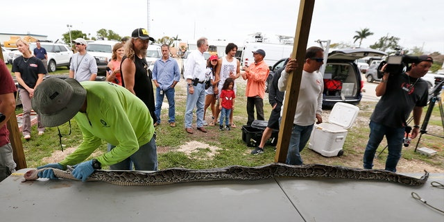 Marcos Fernandez, left foreground, with the South Florida Water Management District, measures and weighs a python caught in the Florida Everglades, Tuesday, May 22, 2018, in Homestead, Fla.