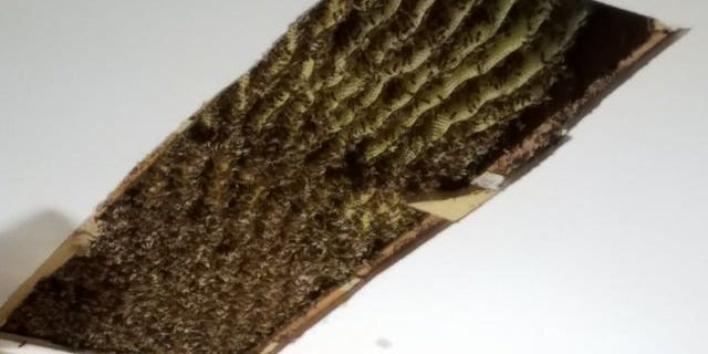 A 6-foot long beehive was found in a Dekalb County, Georgia, home. The hive contained hundreds of thousands of bees.