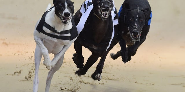 Westlake Legal Group 69168c5e-456912936 Nearly 1,000 greyhound racing dogs died last year in England, welfare groups call to end sport fox-news/world/world-regions/united-kingdom fox-news/world fox-news/sports fox news fnc/world fnc David Aaro article 38149d64-15c1-5ecf-a2a0-1fad2401afa1