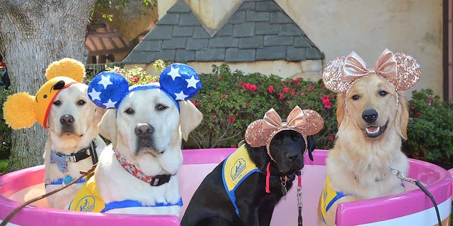 Luckily for Aryssa, Essie, Chekov and Ortega's future owners, the pups now know their way around Disneyland, too.