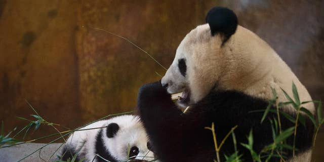 The nearly five-month-old female Panda called Chulina, left, eats bamboo in her enclosure at the Madrid zoo in Madrid, Spain, Thursday, Jan. 12,2017 years. The Madrid zoo has named its newest baby Panda Chulina(cutey), in respect Chulin, the first Panda born at the zoo 34 years ago. (AP Photo/Daniel Ochoa de Olza)