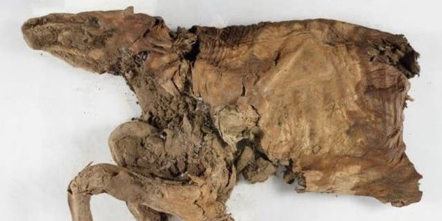 The mummified remains of the caribou.
