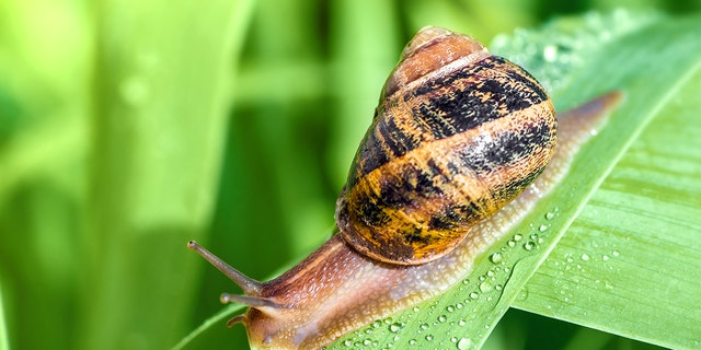 Is snail cream good for your skin?