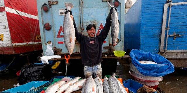 The scientists warned the Gulf corvina may be overfished.