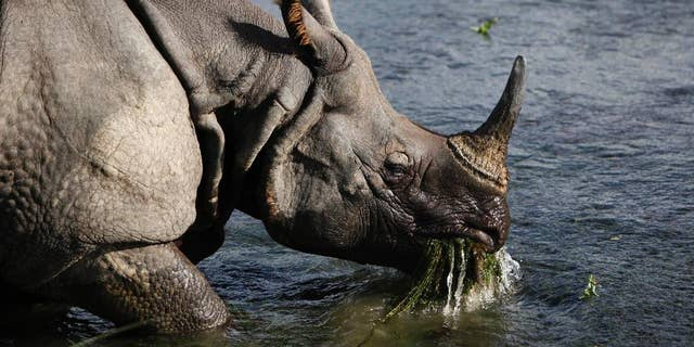 Greater one-horned rhinos, also known as Indian rhinos are poached for their horns and today, there are fewer than 3,000 in the wild in protected areas, according to Zoo Miami. (File photo)