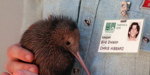 Illustration: eight endangered kiwis have died from respiratory infections at a New Zealand zoo in what has been described as a 'tragedy' for conservation