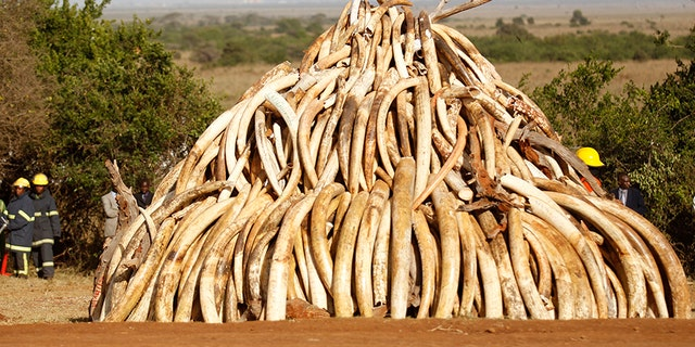 March 3, 2015: A pile of 15 tons of ivory confiscated from smugglers and poachers is arranged before being burnt to mark World Wildlife Day at the Nairobi National Park.